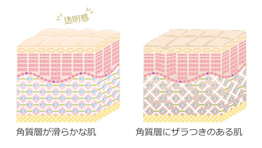肌の組織イラスト
